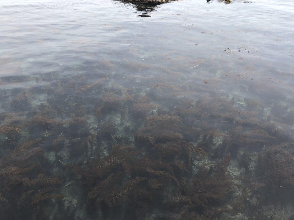 浅瀬の藻場