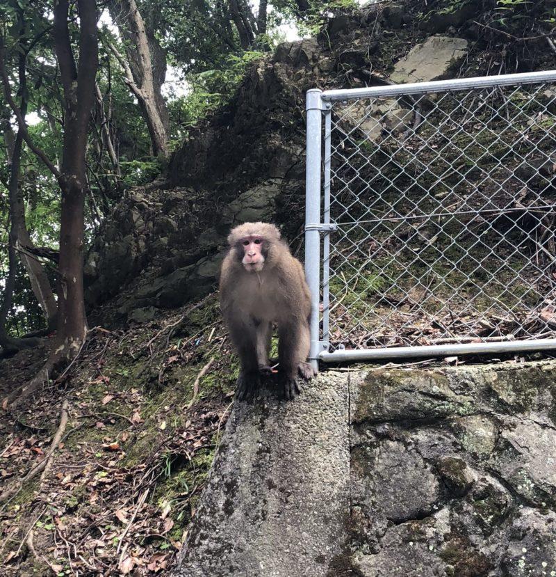 灘の野生の猿