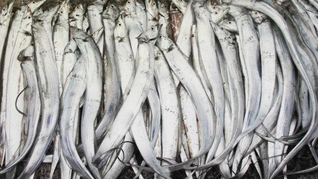 タチウオ大漁