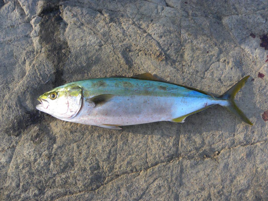 磯で釣れたハマチ