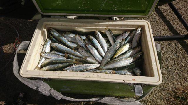 イワシ大漁